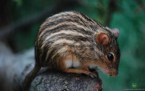 Африканские полосатые мыши